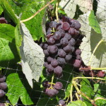 Sustainable Grapes
