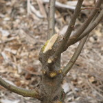 MahaOrchard_Pruning_PrunedTree3_Jan2011